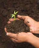 Tender medicinal neem plant. Tender medicinal neem seedling while planting in soil Royalty Free Stock Images