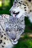 Tender moment. A tender moment between a female and male snow leopards Royalty Free Stock Photo