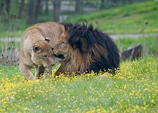 Tender Moment. Lion couple sharing a kiss, Oregon Wildlife Safari royalty free stock photos