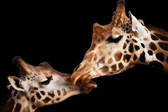 Tender moment with giraffes Royalty Free Stock Photography