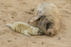 A tender moment with a Grey Seal Halichoerus grypus mum and her newly born pup lying on the beach. Stock Photography
