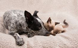 Tender moment between a young dog and cat Stock Photos
