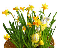 Tender narcissuses and easter decor on a white background Stock Image