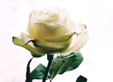 A tender and nice rose. A tender rose, a flower that brings extraordinary feelings, the beauty of which captivates the hearts Stock Images