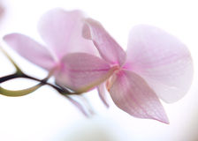 Tender orchid petals Stock Photo