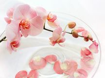 Tender orchids in water. Orchids flower, pink tender petals over white background Stock Images