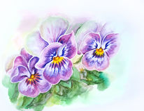 Tender pansies. Watercolor painting. Stock Images