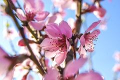 Tender peach blossom in the spring garden Royalty Free Stock Photo