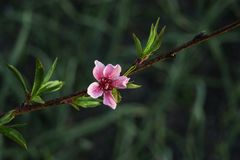 Tender peach blossom in the spring garden Stock Photography