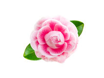 Free Tender Pink Camellia Flower Stock Photography - 89097232