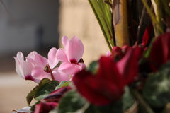 Tender pink cyclamens. This is a picture of a beautiful pink cyclamens Royalty Free Stock Photography