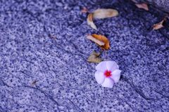 Tender pink flower at cold granite surface. Good quality close up photo of an interesting natural composition: you may see tiny tender flower grows through stock images
