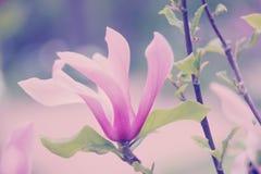 Tender pink flower. Tender pink magnolia. Selective focus Royalty Free Stock Images