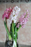 Tender pink flowers of hyacinth bulbs in a glass jar. Nice pink background, spring mood. Tender pink flowers of hyacinth bulbs in a glass jar vase. Nice pink stock photography