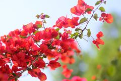 Tender pink flowers, soft blurred background. High quality close up photo of a tree branch full of dark pink or almost red flowers in focus at neutral background royalty free stock photography