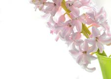 Tender pink hyacinth flowers close up, free space for text, concept of spring and Valentine`s Day royalty free stock photos