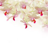 Tender pink orchid flowers with butterflies Royalty Free Stock Image