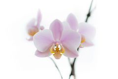Tender pink orchids. On white background Royalty Free Stock Photos