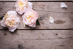 Tender pink peonies flowers on aged wooden background. Flat lay. Stock Photos