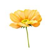 Tender pink poppy flower isolated on white background Stock Image