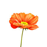 Tender pink poppy flower isolated on white Stock Images