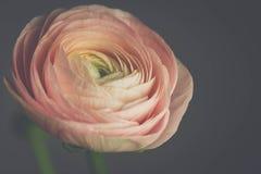 Tender pink ranunculus flower Royalty Free Stock Photo