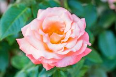 Tender pink rose in the garden close up. Beautiful pink rose growing outside. Close up natural background royalty free stock photography