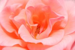 Tender pink rose illustration closeup. Hand drawn heart of rose, tint of pink color Stock Photo