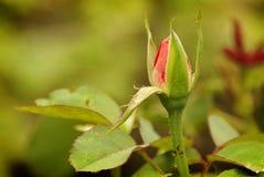 Rosebud royalty free stock photos