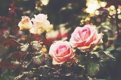 Tender pink roses in golden rays of light. Tender pink roses after the rain in golden sun lights in flower garden Stock Photos