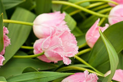 Tender pink tulips Stock Image