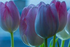 Tender pink tulips in the early morning stock images
