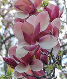 Tender pink white magnolia buds Royalty Free Stock Photography