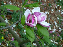 Tender pink white magnolia buds Stock Image