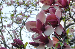 Tender pink white magnolia buds Stock Photo