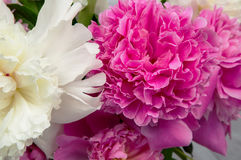 Tender pink and white peony flowers Royalty Free Stock Photo