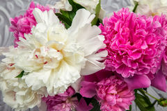 Tender pink and white peony flowers Royalty Free Stock Photos