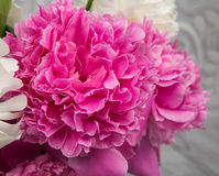 Tender pink and white peony flowers Stock Photos