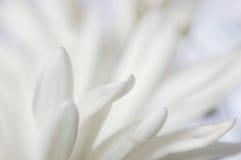 Tender pistils. Impressionistic close-up of daisy pistils Stock Image