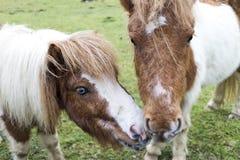 Tender ponies. An image of two tender blond ponies Royalty Free Stock Image