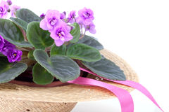 Tender potted Saintpaulia in the straw hat Royalty Free Stock Photography