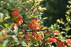 Tender quince blossom in the spring garden, background royalty free stock photos