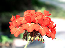 Tender red flower pelargonium cranesbill Royalty Free Stock Image