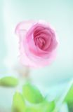 Tender rose Royalty Free Stock Photos