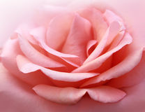 Tender rose Royalty Free Stock Photo