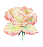 Tender rose Royalty Free Stock Photography