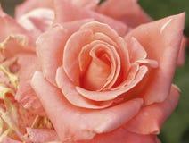 Tender rose stock photos