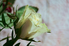 Tender rose at home Royalty Free Stock Photos