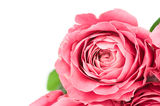 Tender rose Stock Images