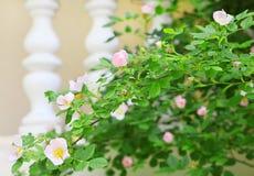 tender roses in spring garden stock images